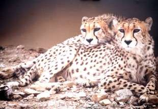 Last surviving Asiatic cheetahs to undergo artificial insemination