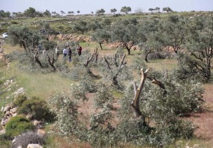 Israel razes hundreds of olive trees in Jordan Valley