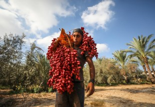 Gaza farmers have dates, but have nowhere to sell them