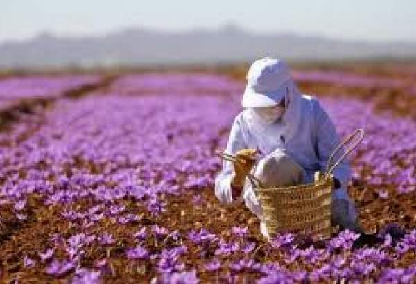 Iran to launch int'l exporting bloc to trade saffron